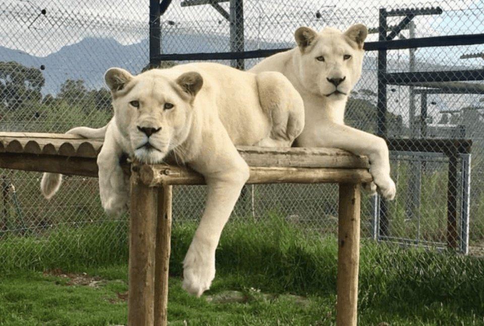 lions blancs blog.png