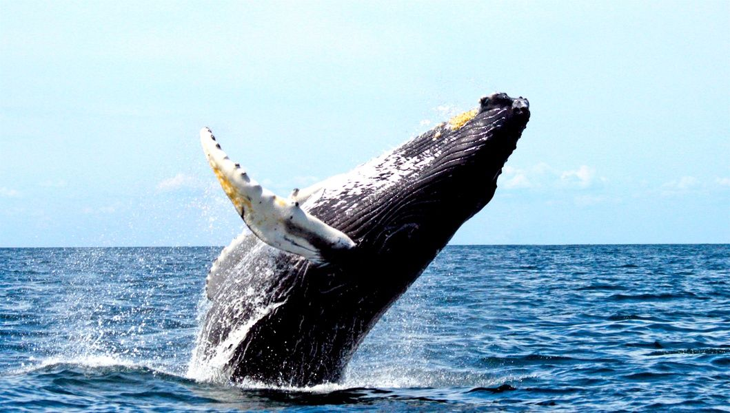 Humpback whale outside of the Pacific Coast in Colombia