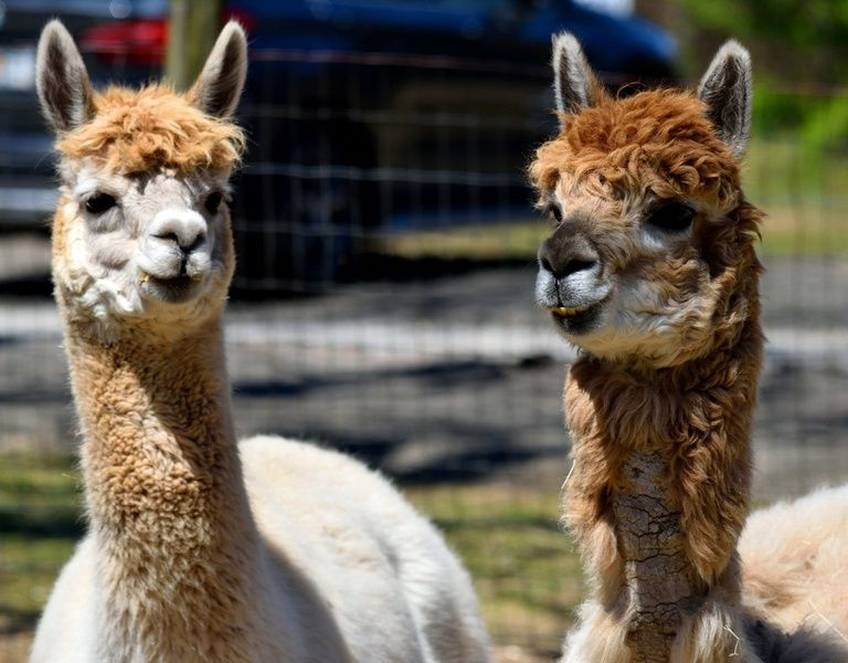 Visiting alpaca farms is one of the best things to do in Peru