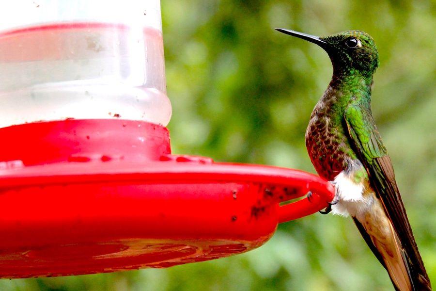 Hummingbird in Solento Colombia