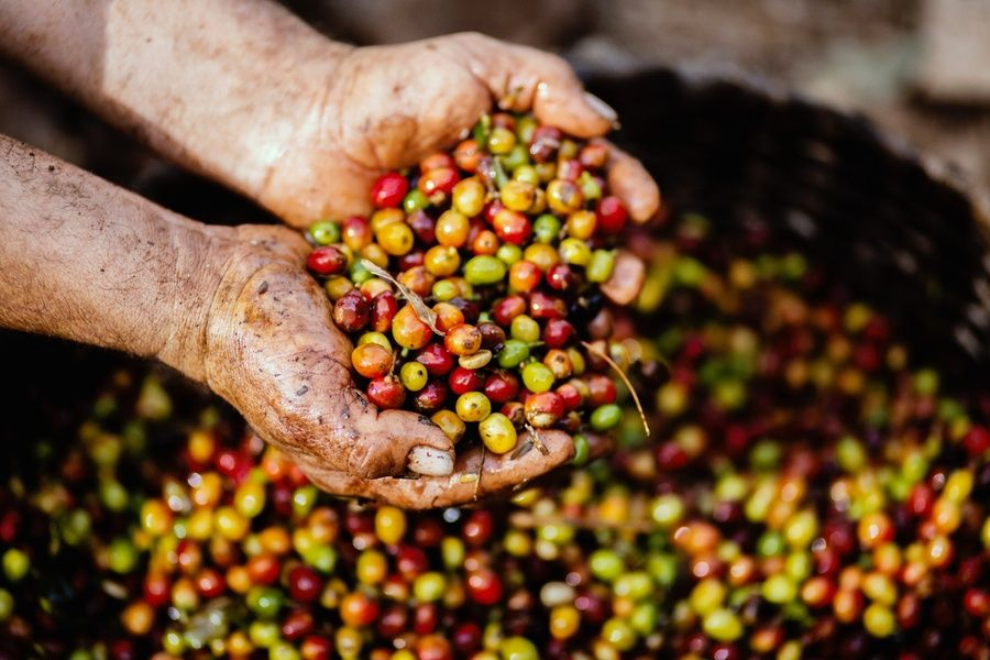 Coffee Farms Unique Things to Do in Puerto Rico