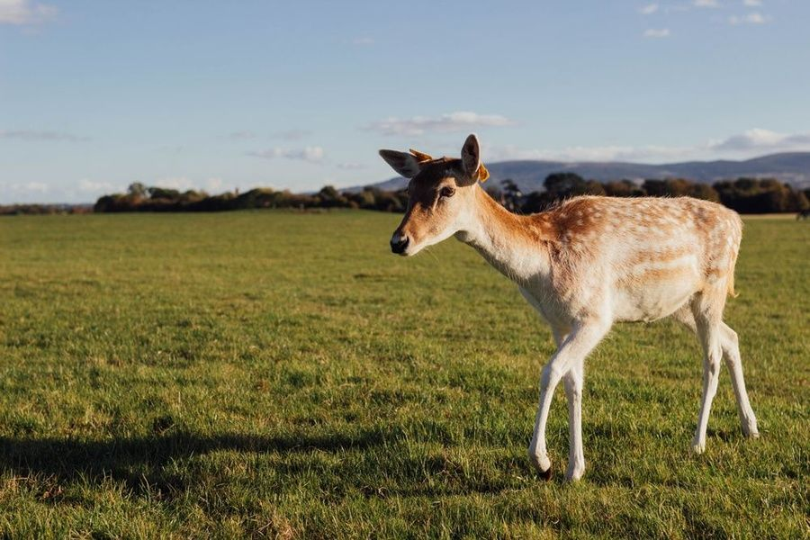 Exploring Phoenix Park is a fun thing to do in Dublin