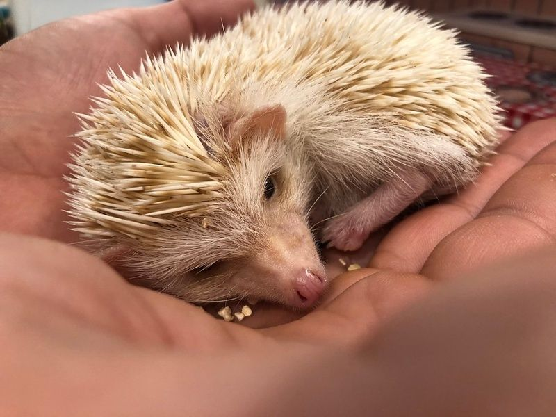 The hedgehog cafe in Akihabara is one of many cool tokyo attractions