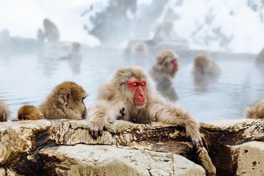 Spa with snow monkeys in the best places to visit in Japan