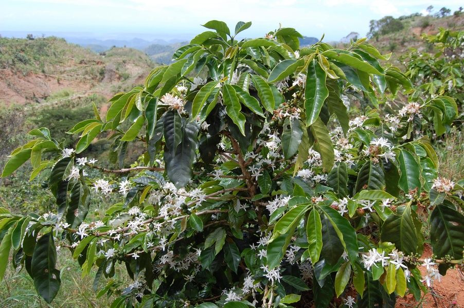 Coffee Plantation is a recommendation from TripAdvisor Puerto Rico