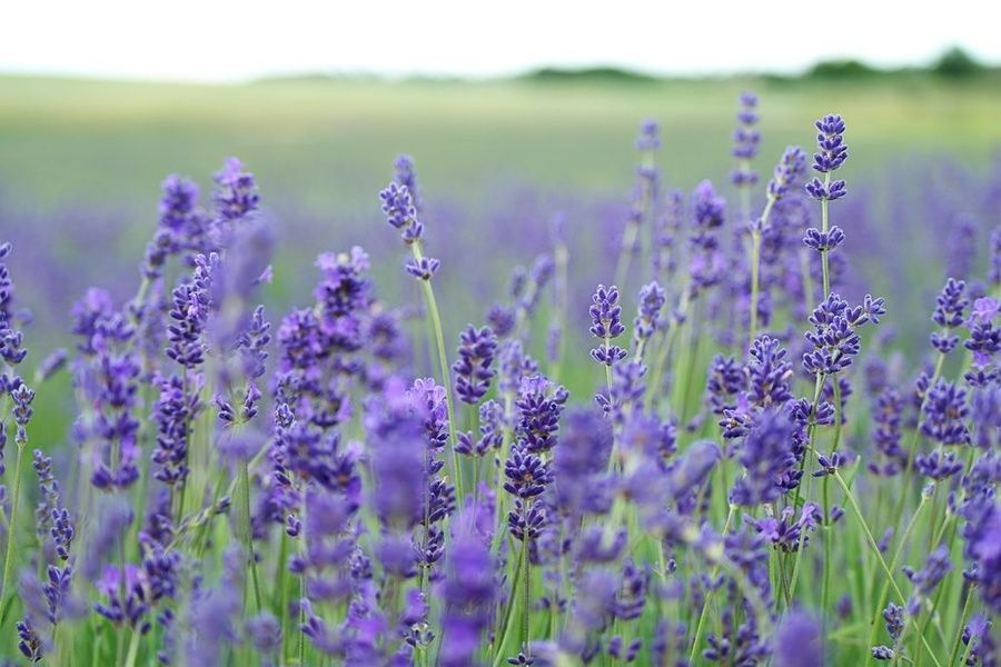 Enjoying lavender fields is a good free thing to do in Ireland
