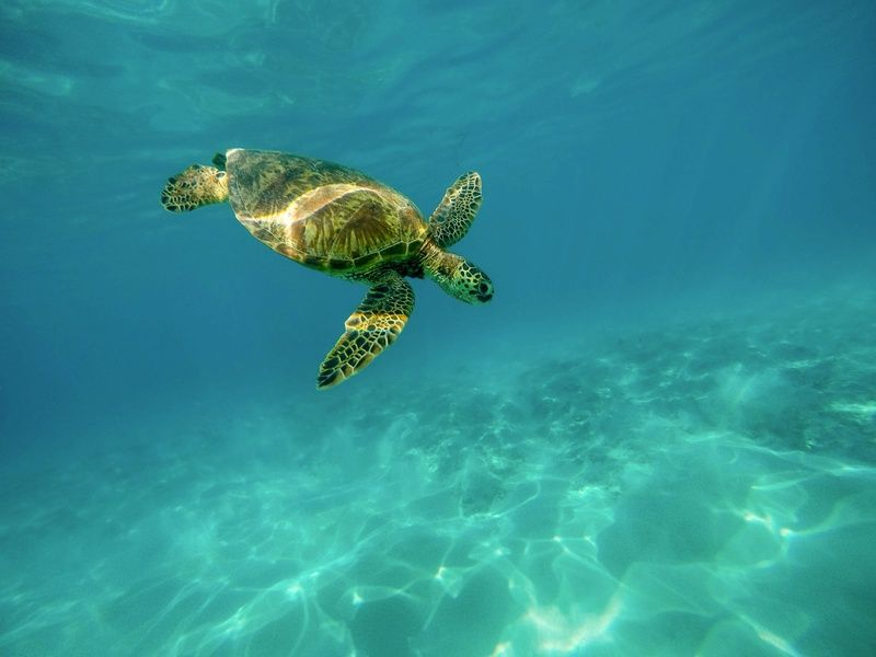 Sea turtles Things to do in Puerto Rico