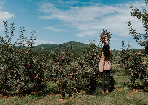 Image of 4 Best Places to Go Apple Picking Near Chicago