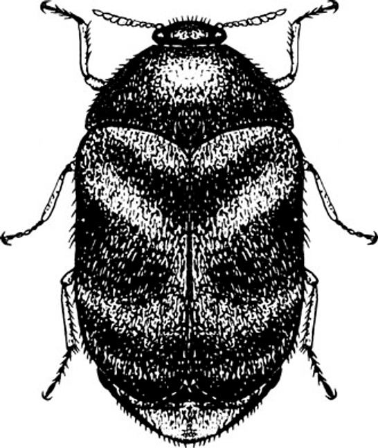 Khapra Beetle risk to Australia. TGL reports
