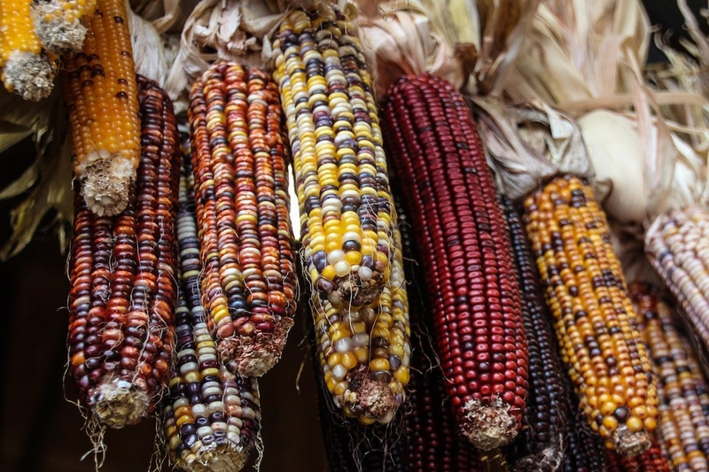 ears-of-ornamental-corn