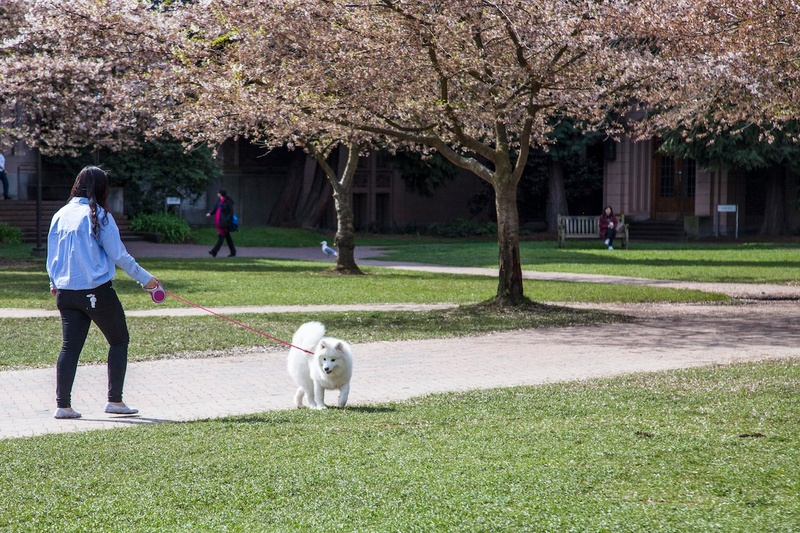 A dog plays in a park full of blossoming trees.